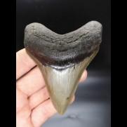 10,0cm sehr guter, scharfer Haizan Megalodon