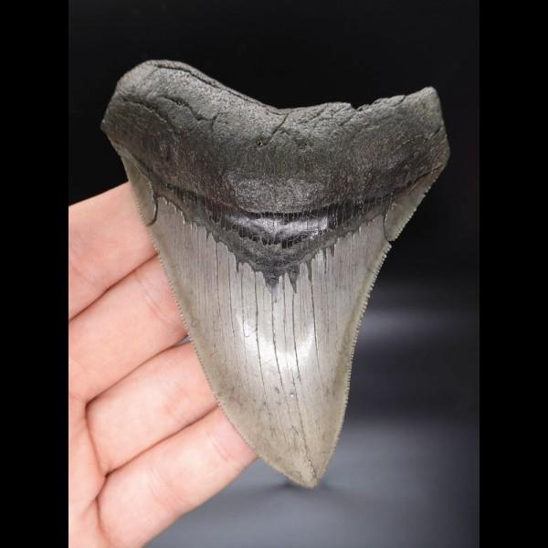 10,7cm sehr guter, scharfer Haizahn Megalodon