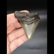 6,8cm Megalodon shark tooth shark USA