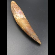 14,9cm collector Spinosaurus  tooth Dinosaurier Fossil