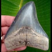 11,2cm scharfer, seltener Haizahn des Megalodon Hai